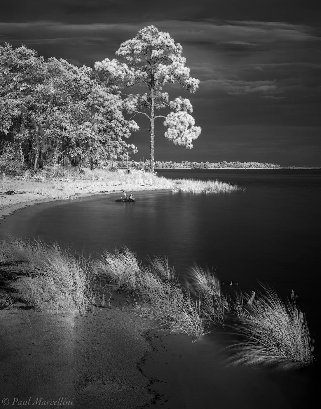 Ochlockonee River, Florida, pine, photo