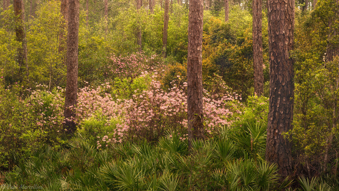 The blooms of Rhododendron canescens pop against the tapestry of spring greens in the pinelands of Apalachicola National Forest...