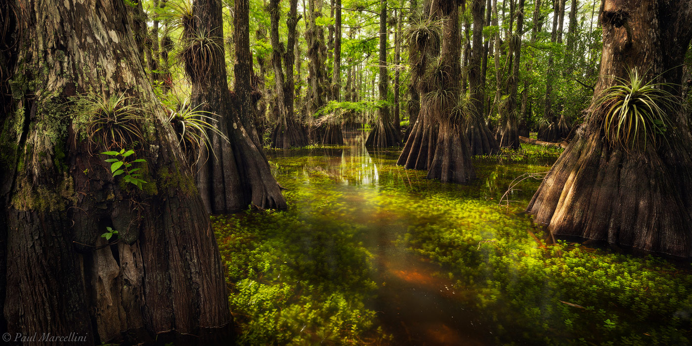 Warm light illuminates the underwater vegetation in a cypress dome in Big Cypress National Preserve.