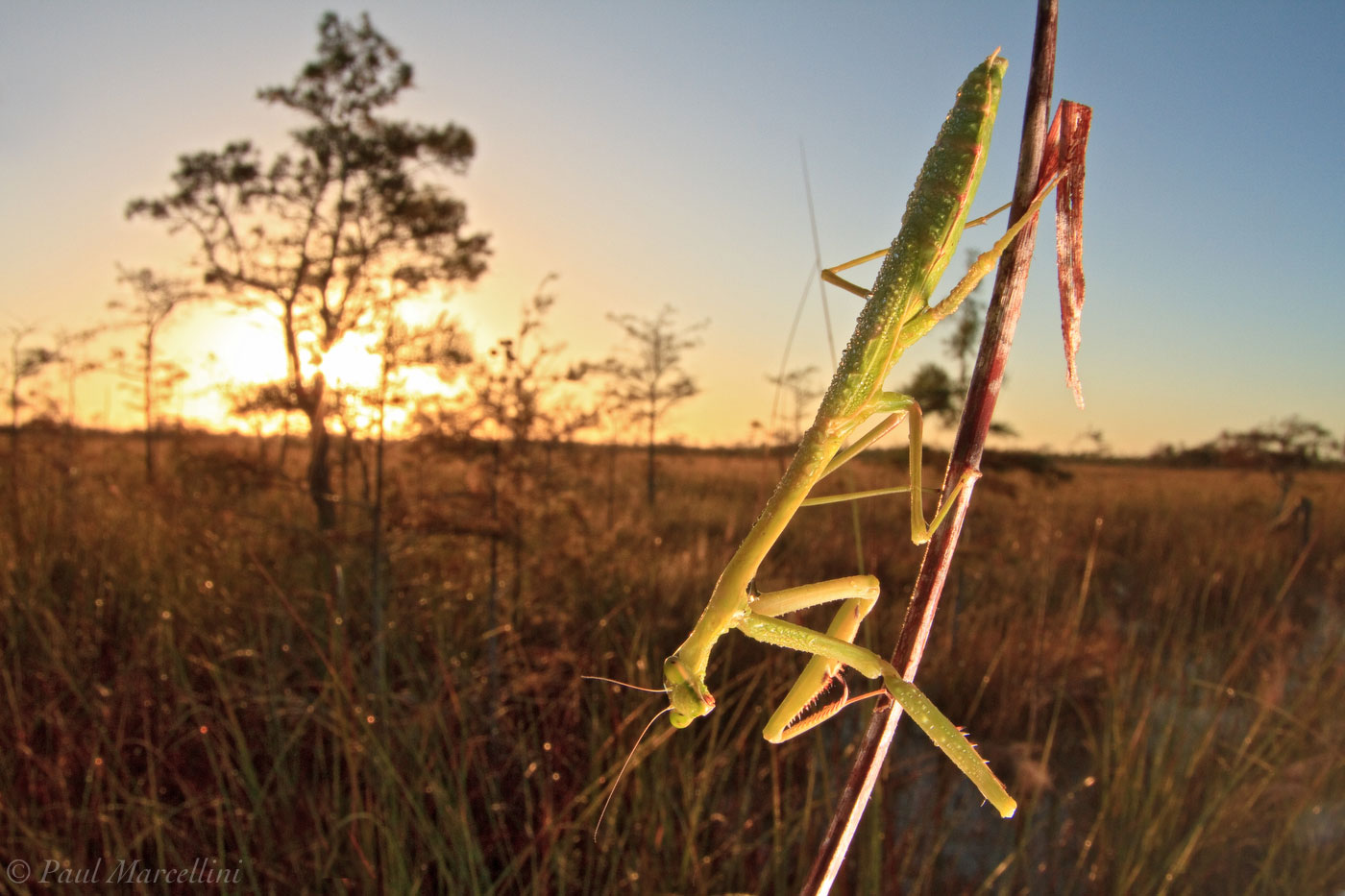 preying mantis, everglades national park, sun, photo