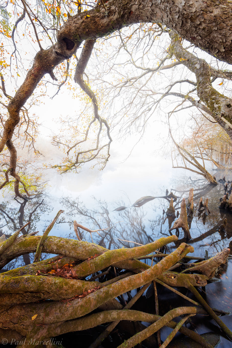 Roots and branches encircle a foggy morning on the Santa Fe River as a few fall leaves hold on.