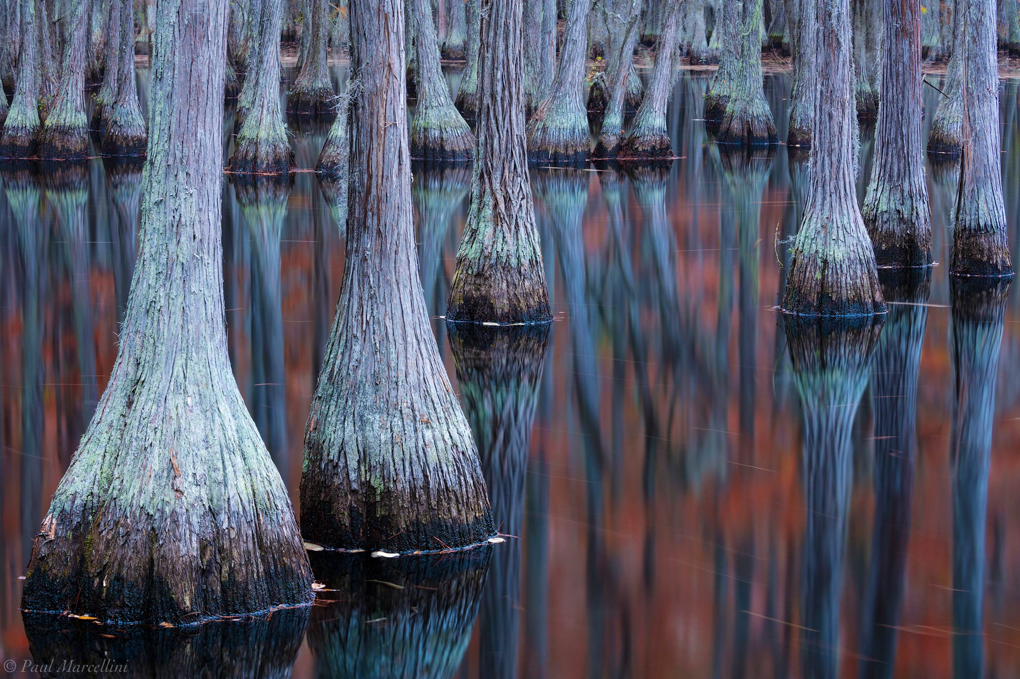 cypress, swamp, fall, photo