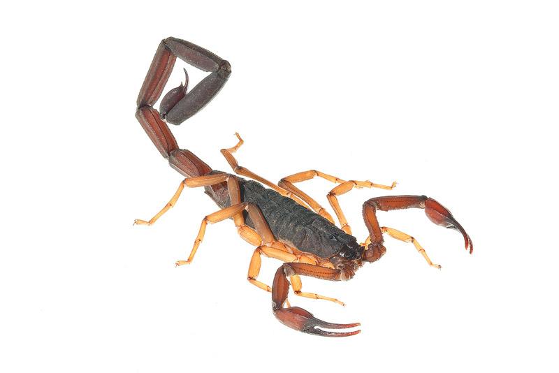 Florida Bark Scorpion, Centruroides gracilis, photo